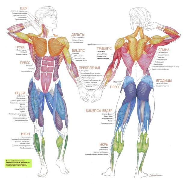 Введение в спортивную анатомию