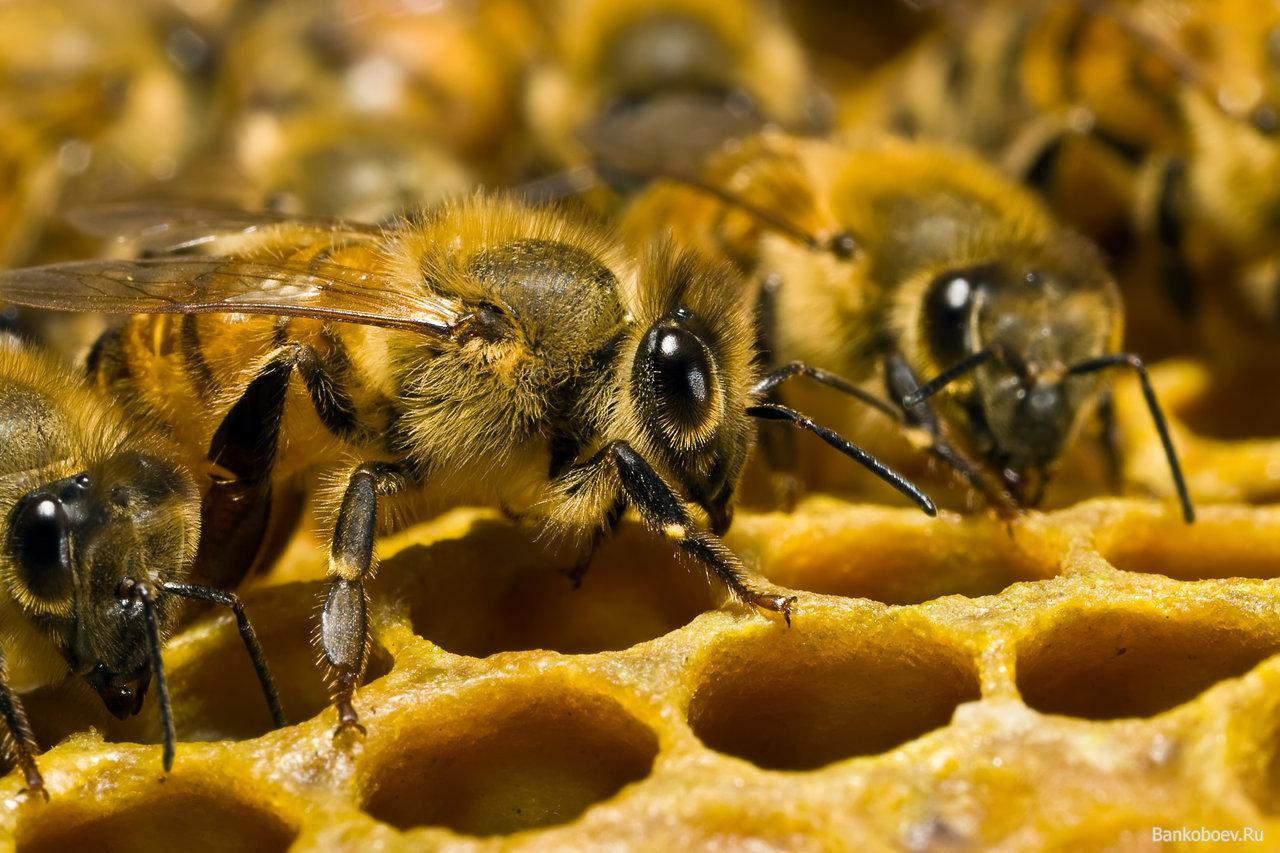 Домашние пчелы