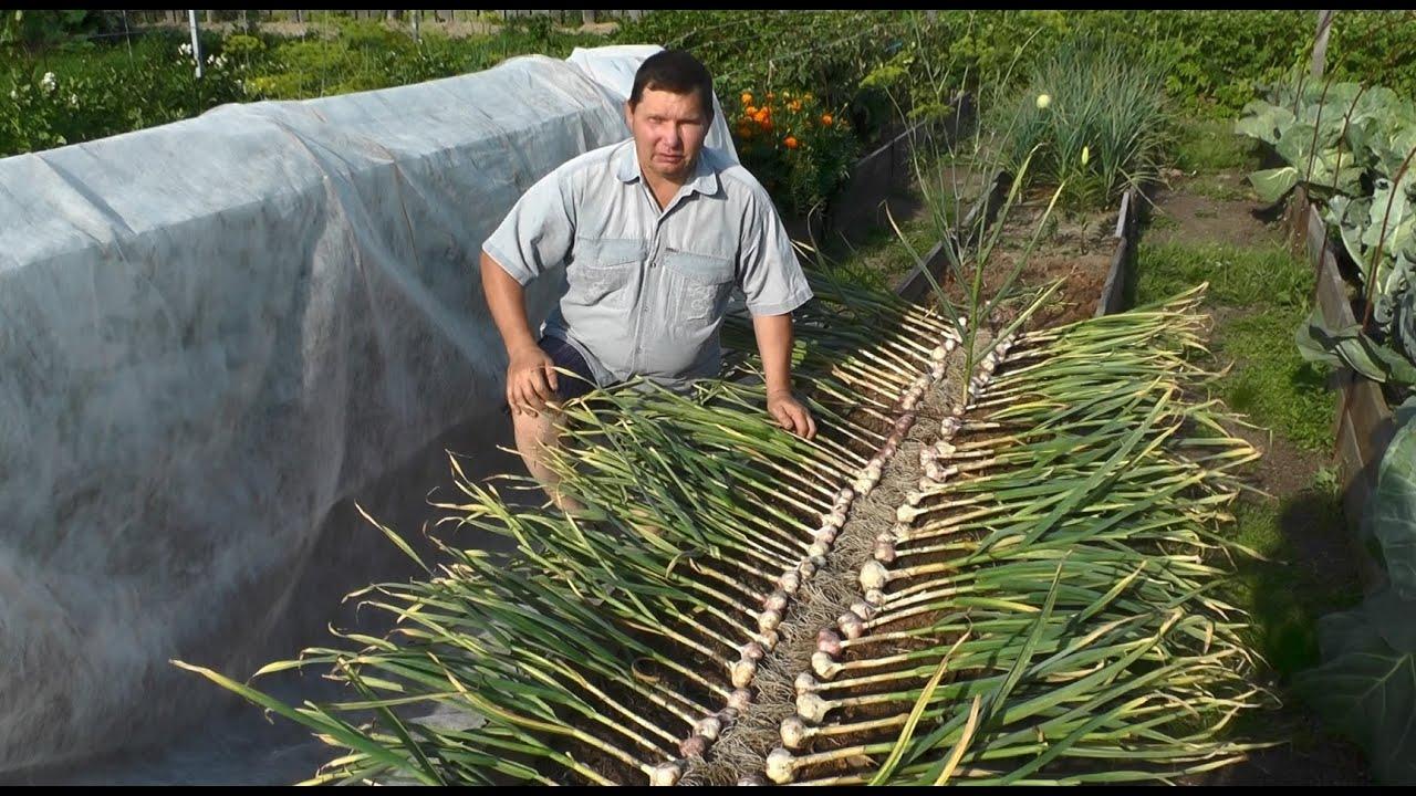 Выращивание чеснока и сеялка для чеснока